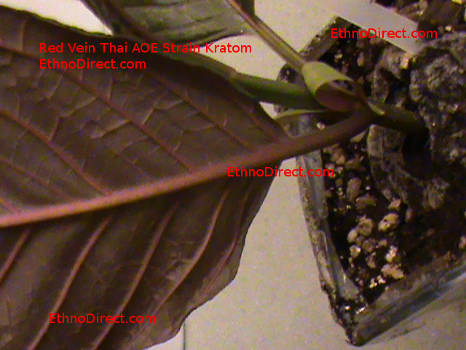 Red Vein Thai AOE Kratom Plant (Mitragyna Speciosa) - Click Image to Close